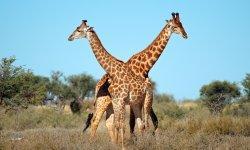 giraffe-little-debbie-2600w-250x150
