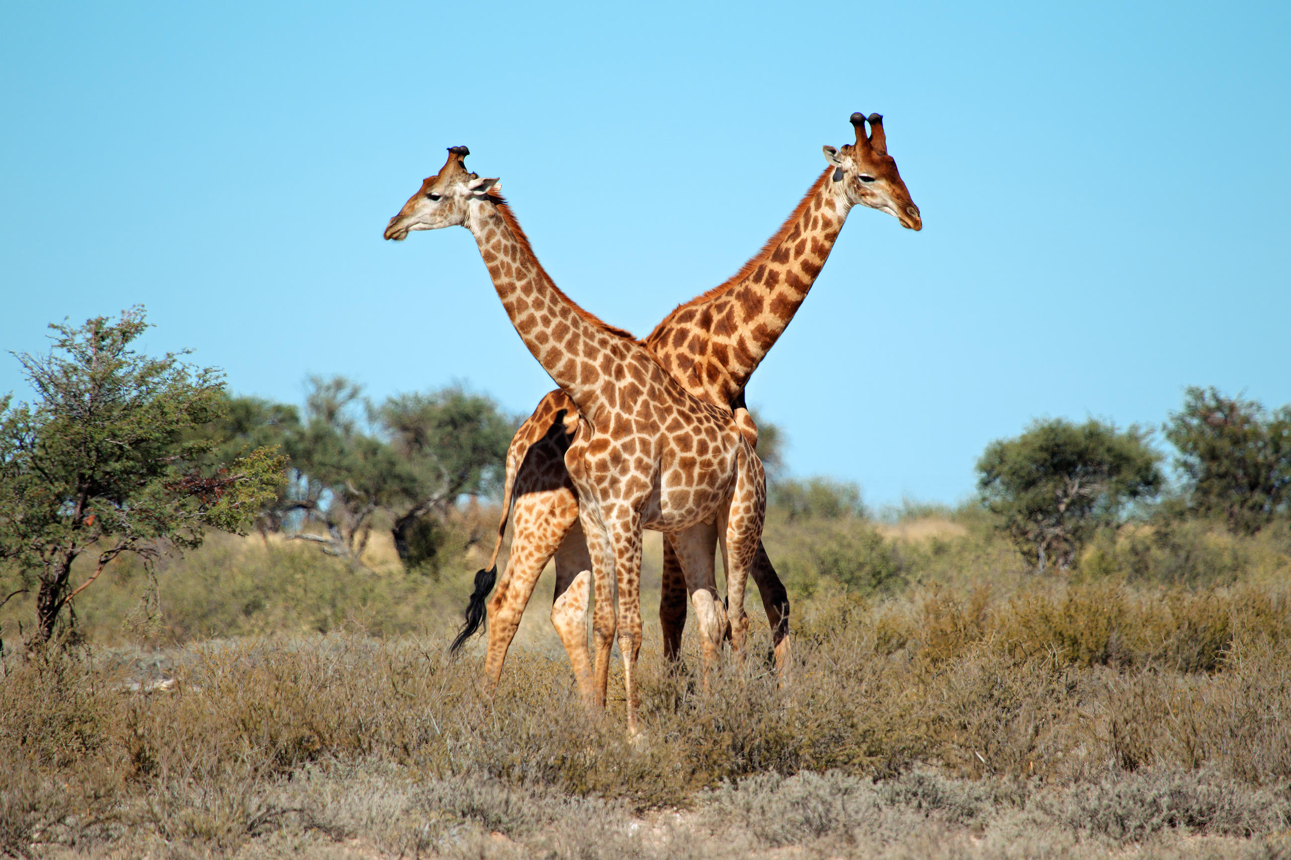 Giraffe Animal Planet