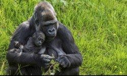 gorilla-little-debbie-2310-250x150
