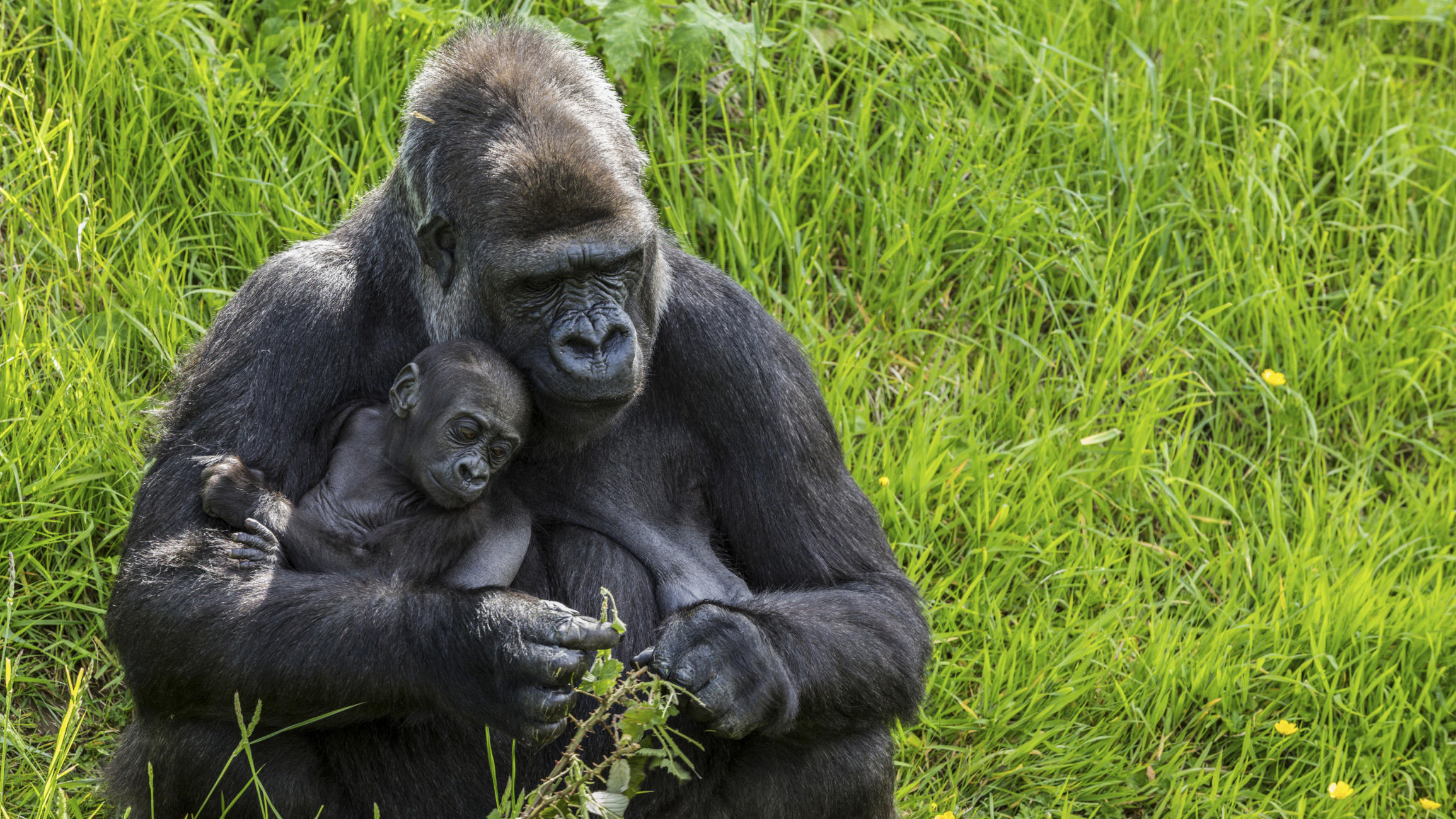 gorilla-little-debbie-2310
