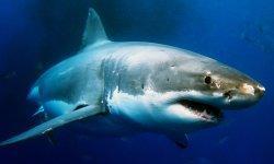 great-white-shark-little-debbie-2600w-250x150