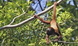 howler-monkey-little-debbie-2600w-250x150