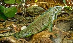 iguana-little-debbie-2600w-250x150