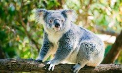 koala-little-debbie-2600w-250x150