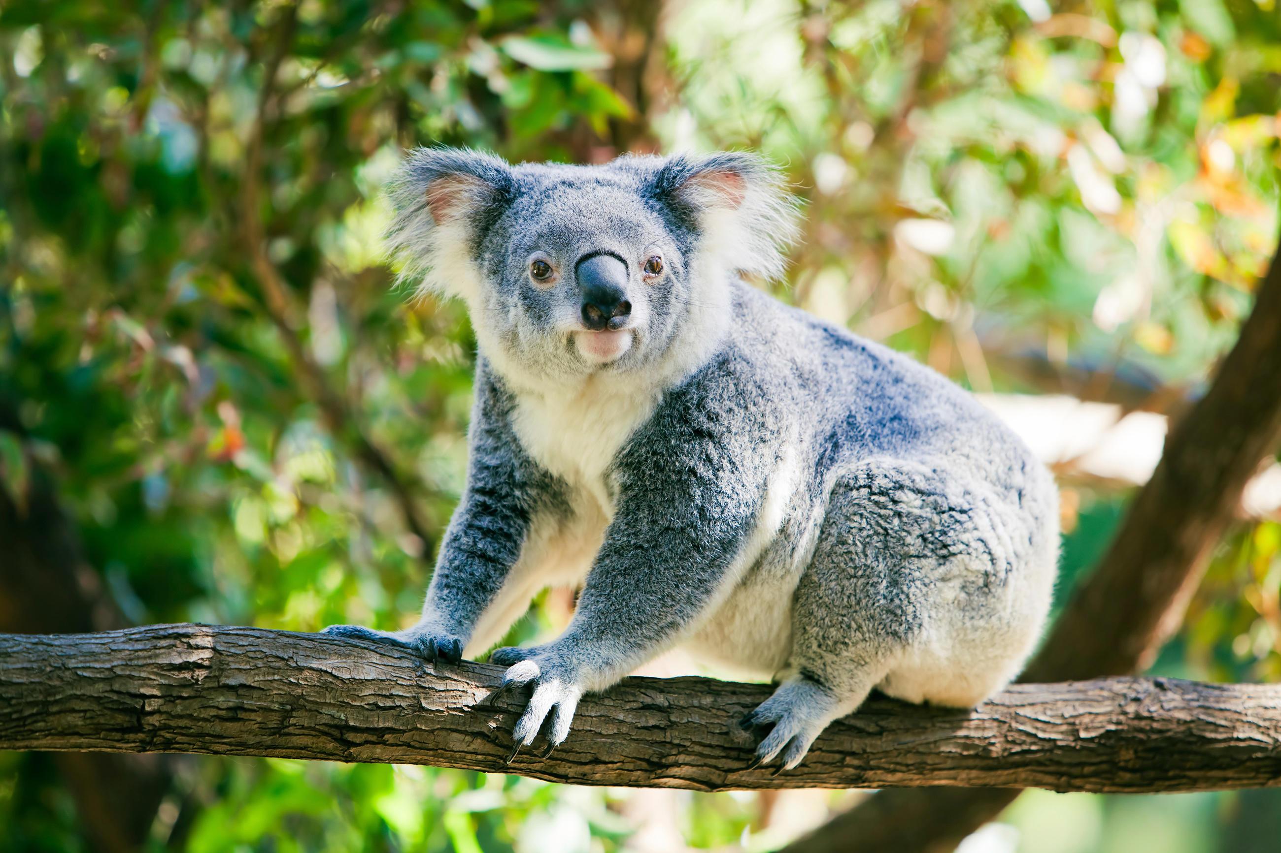 koala-little-debbie-2600w