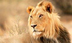 lion-little-debbie-2600w-250x150