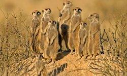 meerkat-little-debbie-2600w-250x150