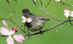 mockingbird-little-debbie-2600w-250x150