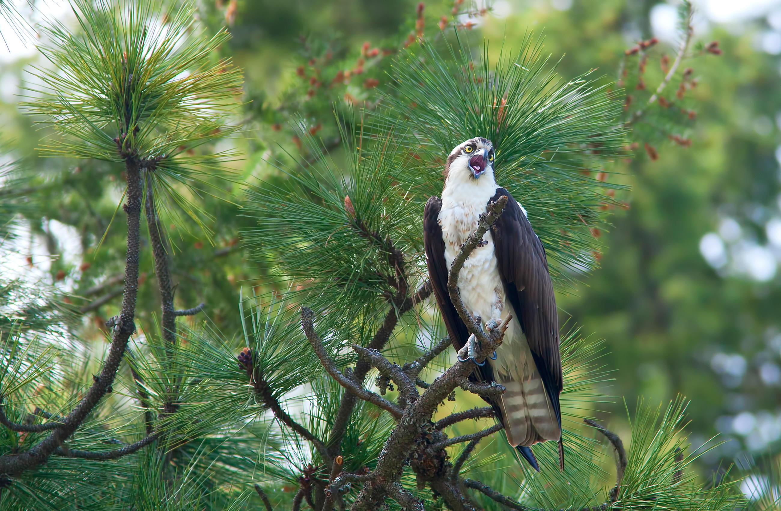 osprey-little-debbie-2600w