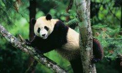 panda-little-debbie-2600w-250x150