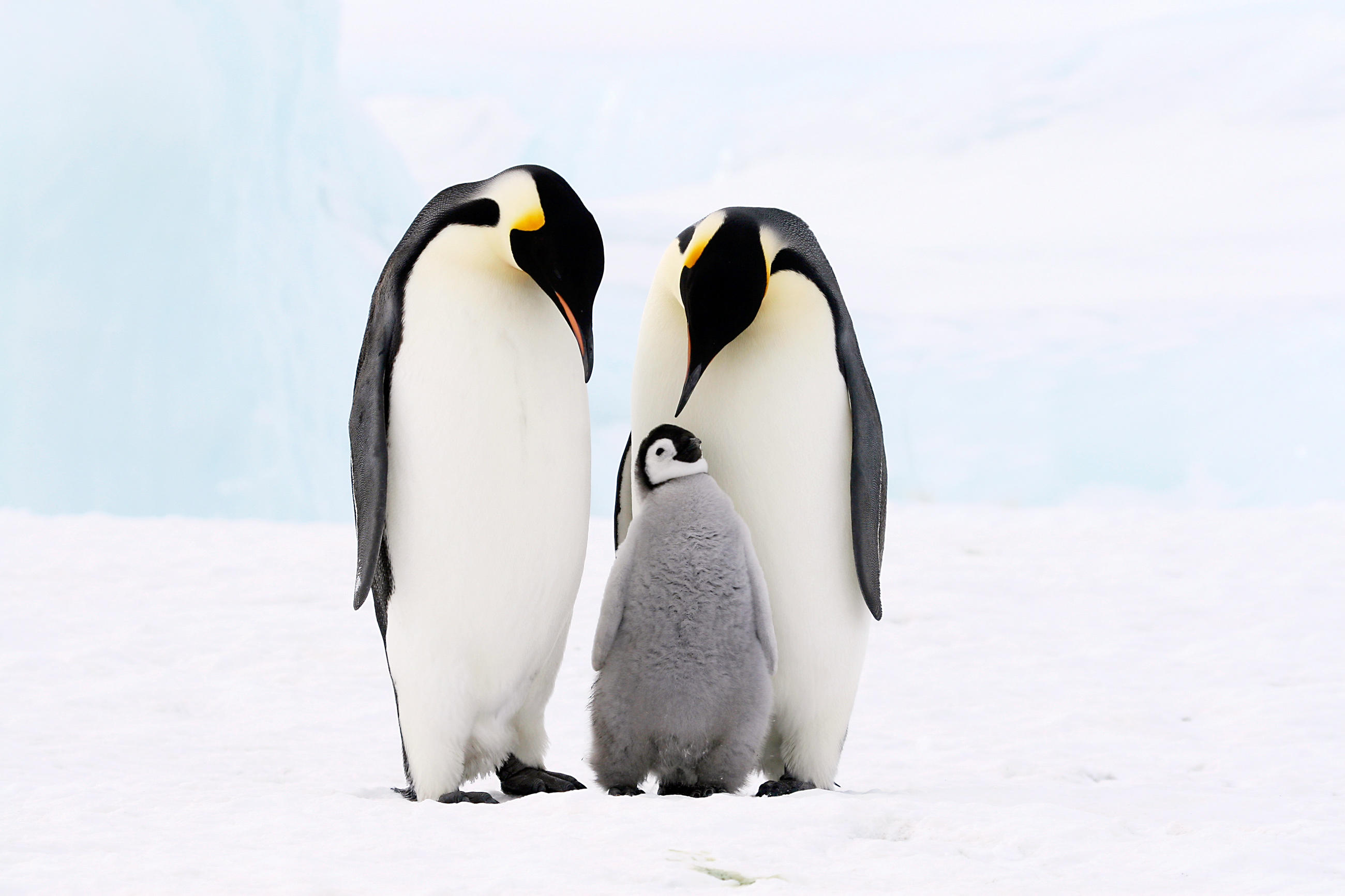 an analysis of the fascinating emperor penguins Emperor penguins are arguably one of the most unique birds on our  read on  to discover why these bird are so amazing, and why they need.