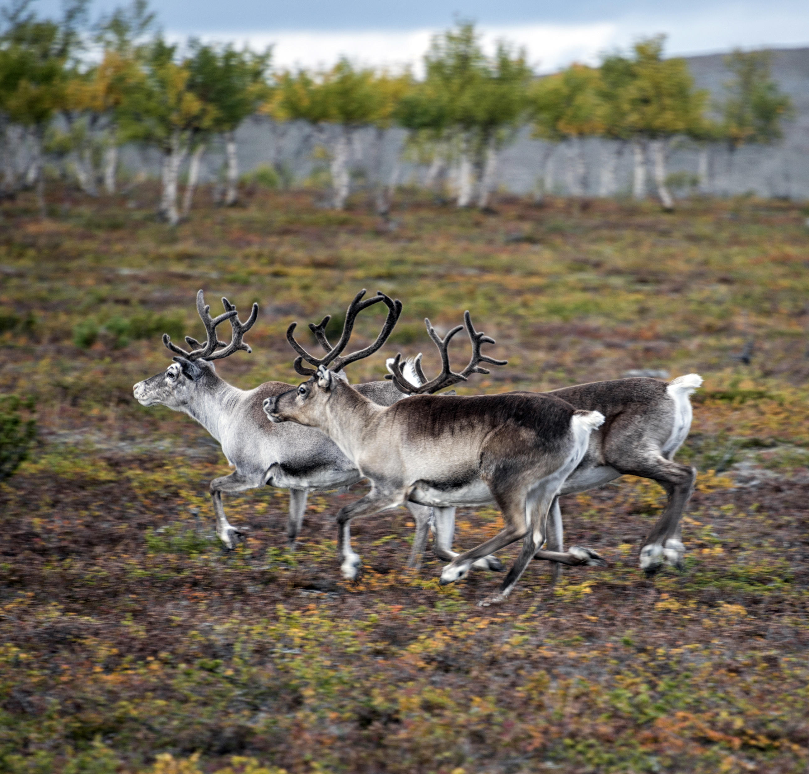 Reindeer animal planet - How do you make wild animal in little alchemy ...