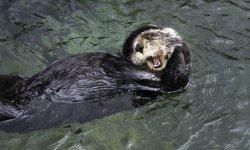 sea-otter-little-debbie-2600w-250x150