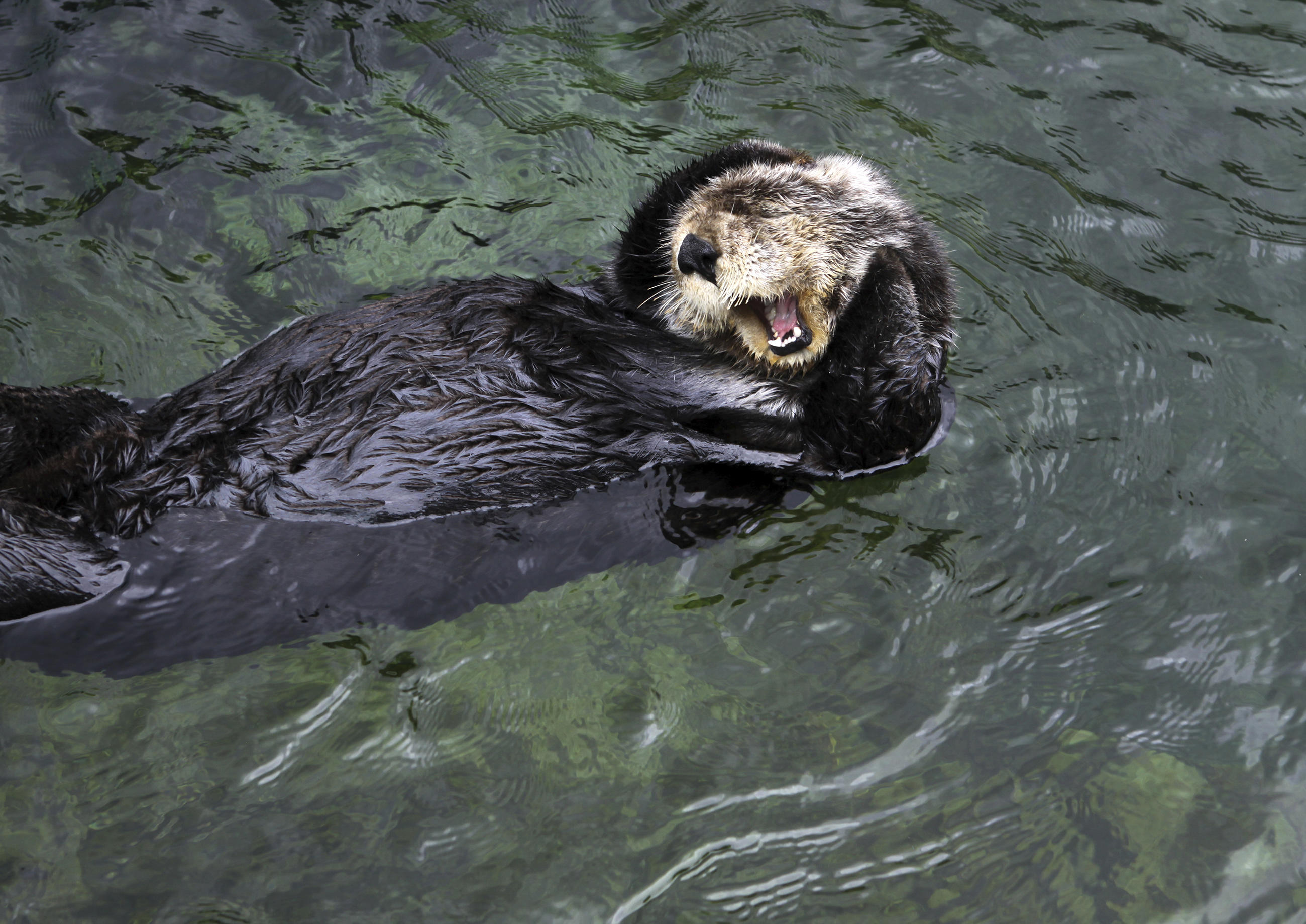 Sea otter animal planet - How do you make wild animal in little alchemy ...