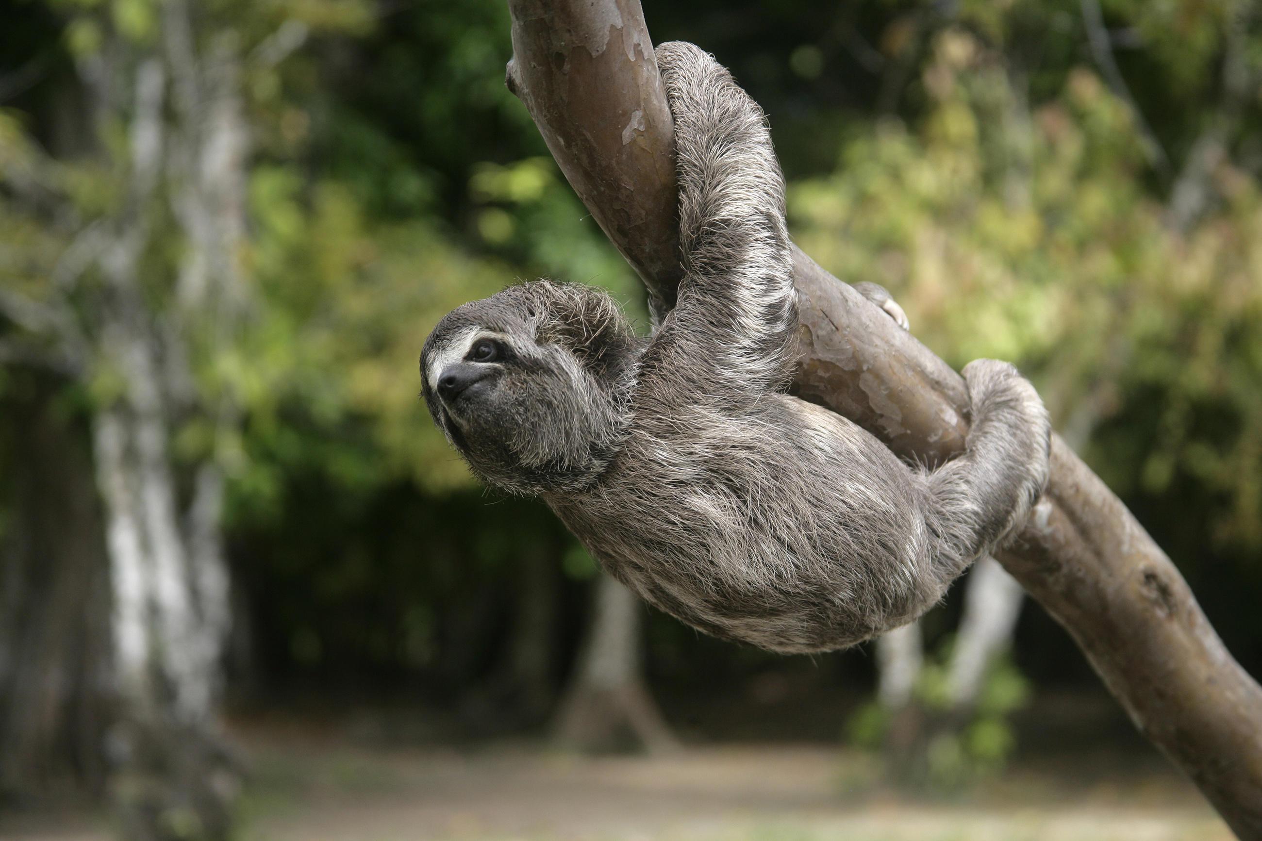 sloth-little-debbie-2600w