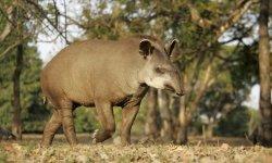 tapir-little-debbie-2600w-250x150