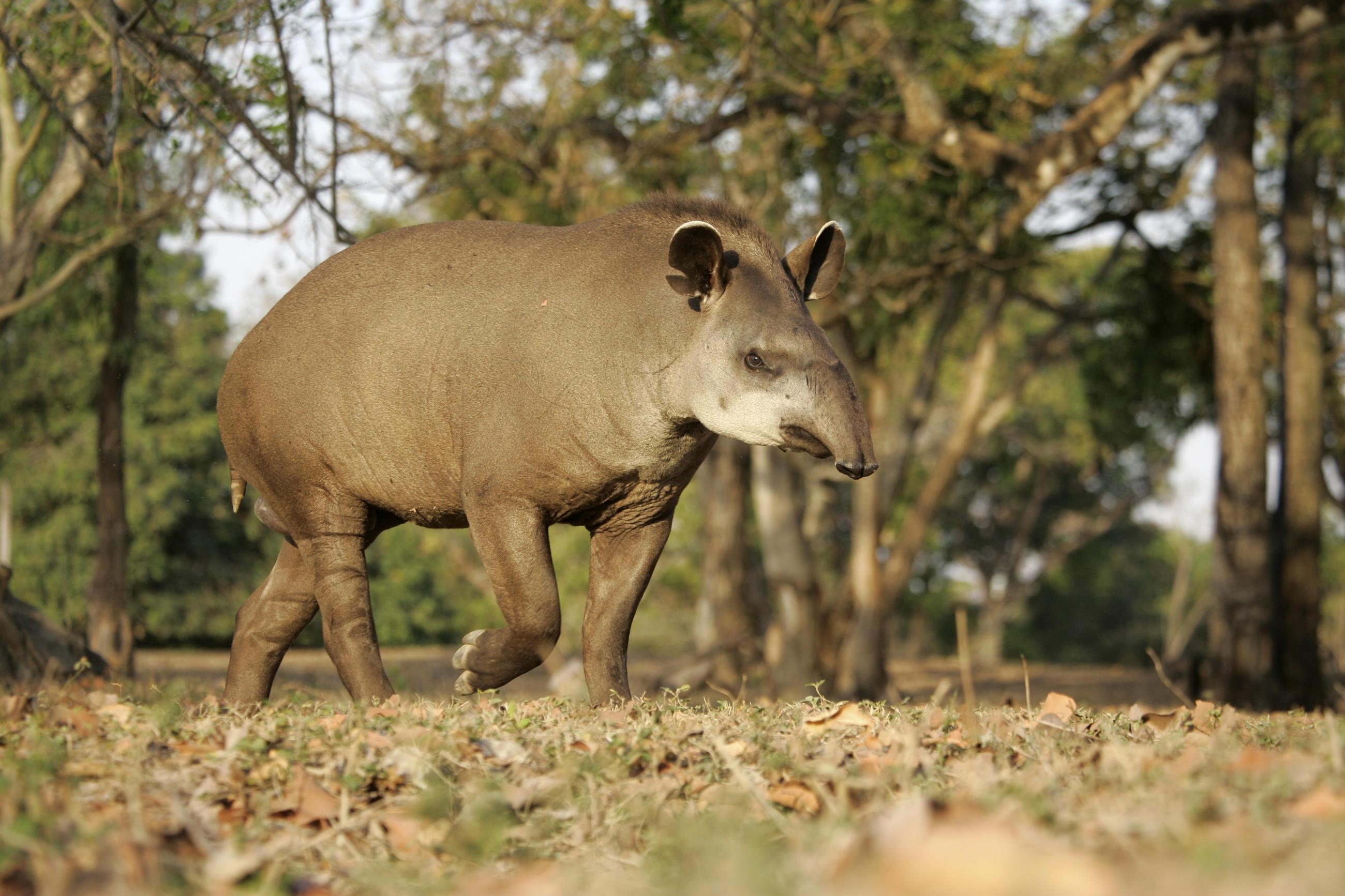 tapir-little-debbie-2600w