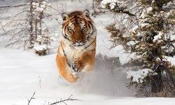 tiger-little-debbie-2600w-250x150