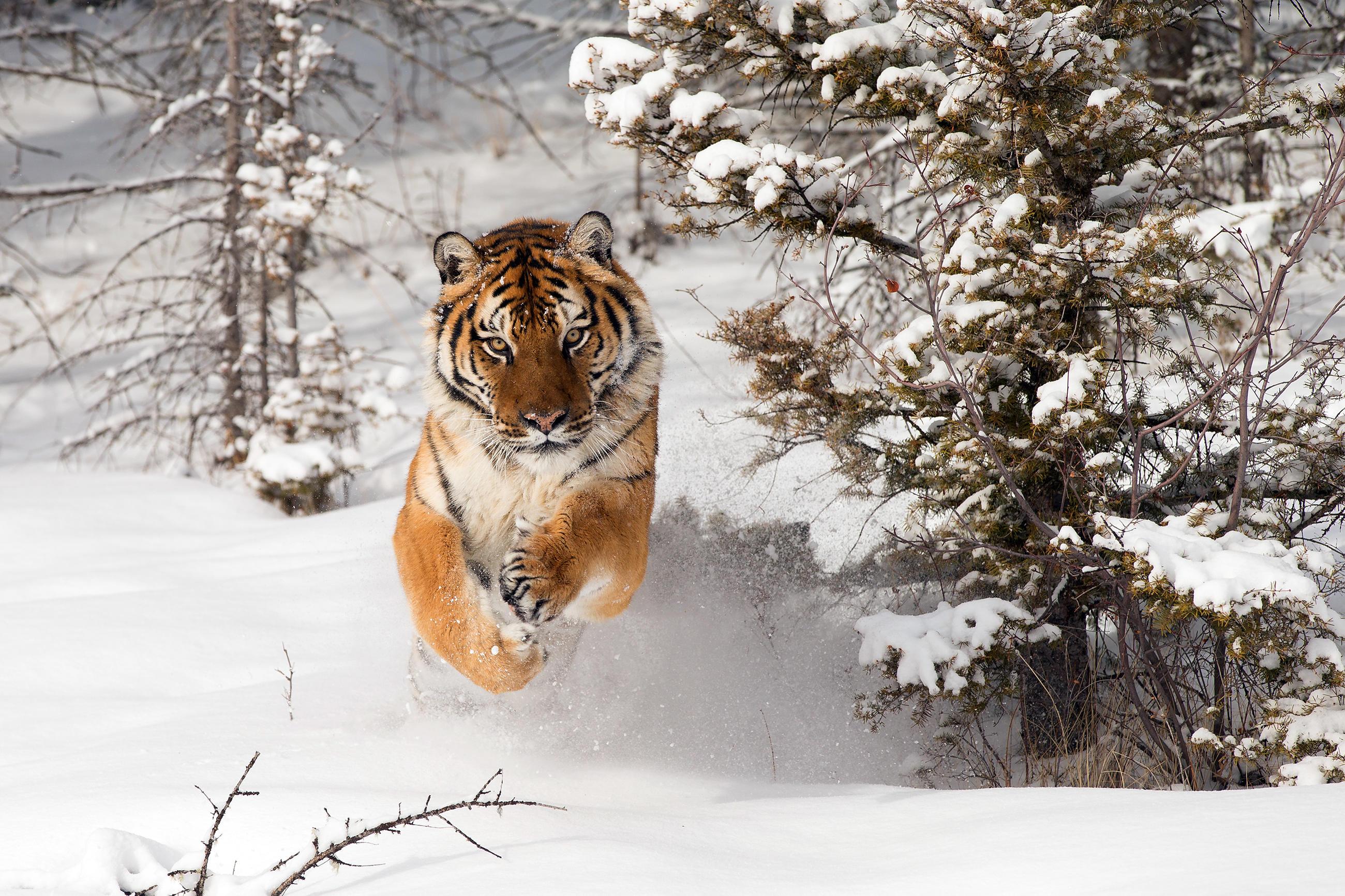 tiger-little-debbie-2600w