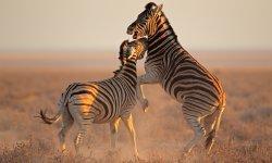 zebra-little-debbie-2600w-250x150