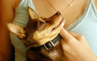 10 Best Small Dog Breeds For Therapy Work Small Dogs Animal Planet