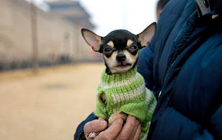 10-small-dog-breeds-for-therapy-work1