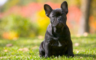 10-small-dog-breeds-for-therapy-work4