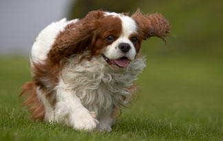 10-small-dog-breeds-for-therapy-work5