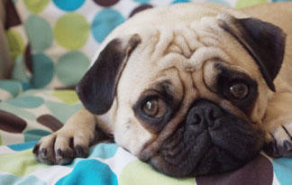10-small-dog-breeds-for-therapy-work7