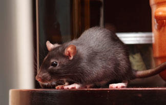 10-worst-rat-cites-in-the-world9