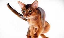 Orange American Bobtail Cat