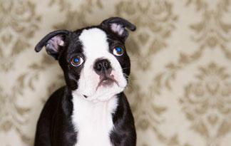 5-boston-terrier-facts2