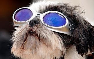 5-health-tips-for-shih-tzus2