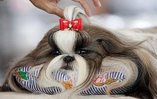 5-health-tips-for-shih-tzus3