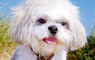 5 common shih tzu personality traits small dogs animal planet
