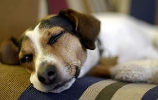 5-signs-sick-jack-russell3