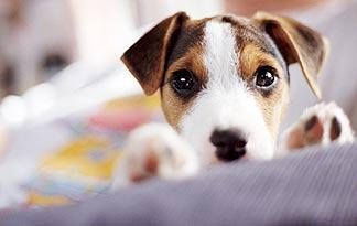 5-signs-sick-jack-russell4
