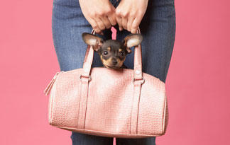 5-surprising-chihuahua-facts0