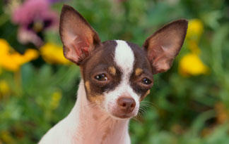 5-surprising-chihuahua-facts2