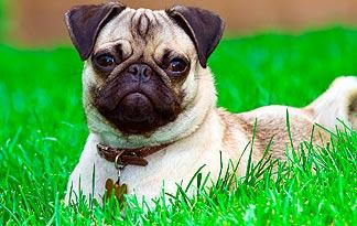 Top 5 Ways To Keep Your Pug Healthy Small Dogs Animal Planet