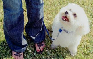 adopting-a-bichon-frise5