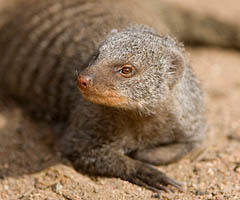 bandits-of-selous-banded-mongoose-facts0