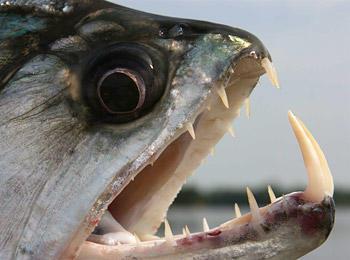 black-piranha-05
