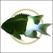 blackchromis0