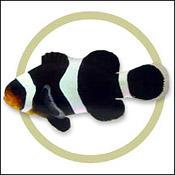 blackpercula0