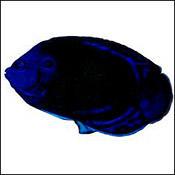 bluefinangel0