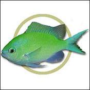 bluegreenchromis0