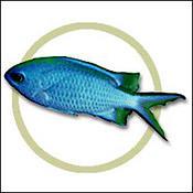 bluereefchromis0
