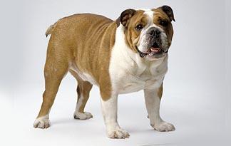 5 Olde English Bulldogge Bully Breeds Animal Planet