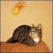 cat-body-size-shape0